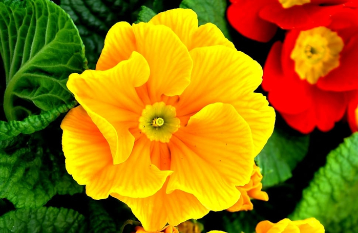 yellow-spring-flowers-primrose-wallpaper-preview (700x455, 333Kb)