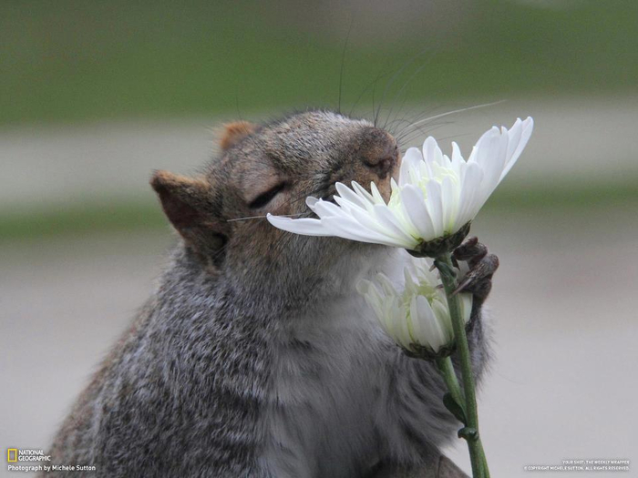squirrel-flower-147490232584kgn (700x525, 249Kb)