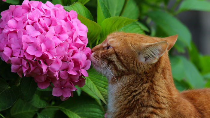 2018Animals___Cats_Ginger_cat_sniffs_pink_hydrangea_flower_130224_24 (700x393, 332Kb)
