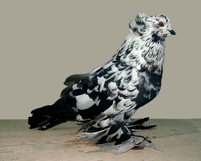 pig_Hungarian_giant_house_pigeon (black_splash) (700x560, 227Kb)