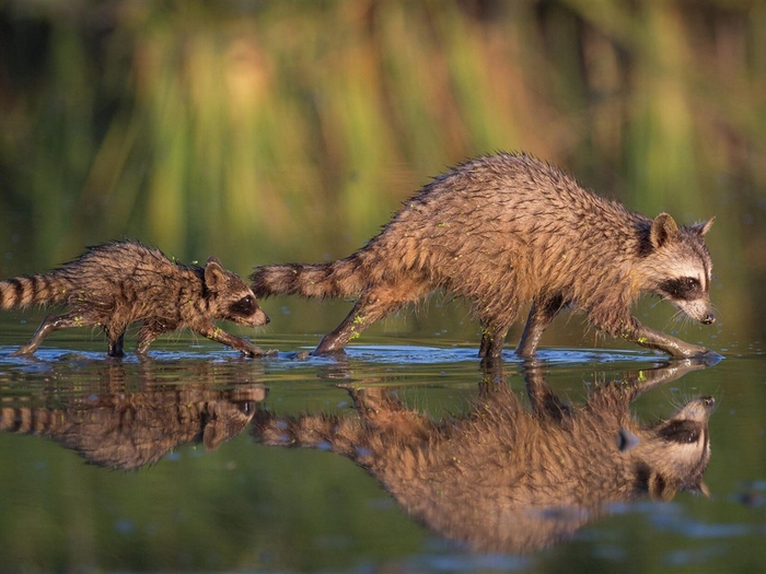 Two-raccoons-mother-and-cub-water-reflection_1024x768 (700x525, 356Kb)