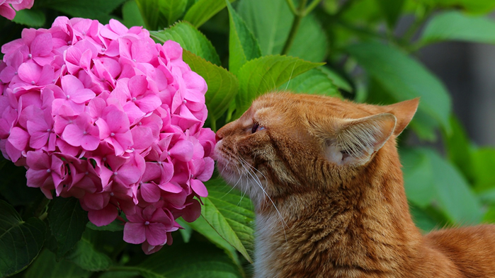 Cats_Hydrangea_Ginger_color_553695_1366x768 (700x393, 330Kb)