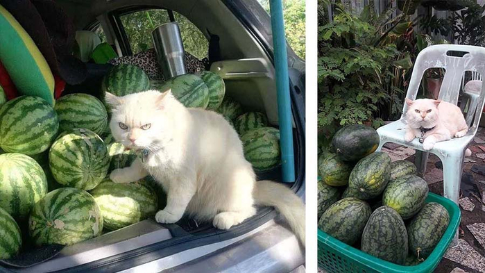 funny-angry-cat-watermelon-supervisor-vinegret (700x393, 308Kb)
