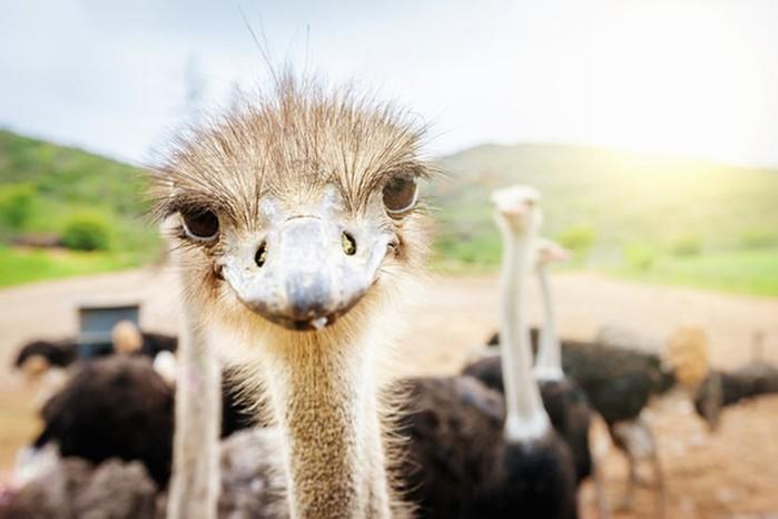 Что нужно для бизнеса на страусах