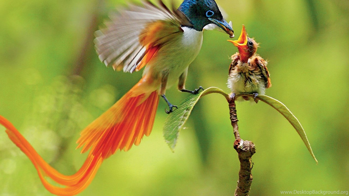 555436_20-charming-birds-of-paradise-pictures_1600x1200_h (700x393, 282Kb)