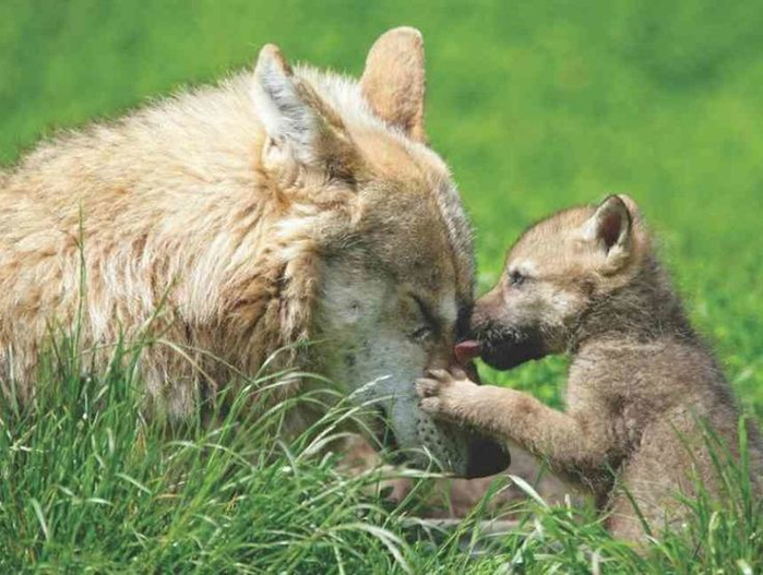 057dffb5400dd0655cd53483dbabb675--i-love-you-mom-arctic-wolf (700x527, 358Kb)
