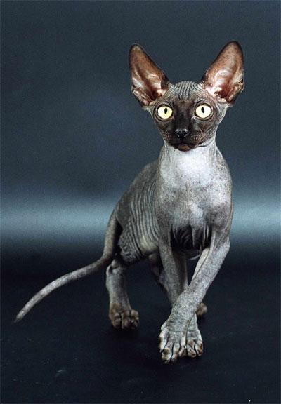 Не знаю почему, но я просто без ума от кошек-сфинксов.
