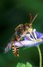 [+] Увеличить - бджол №204