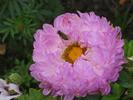 [+] Увеличить - №225. Пчела
