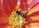 [+] Увеличить - бджол №350