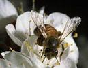 [+] Увеличить - бджол №351
