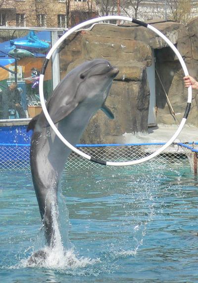 Сюда для дрессировки было доставлено несколько дельфинов, пойманных в...