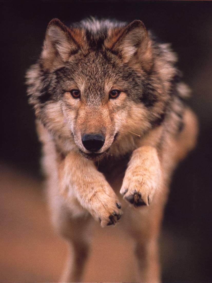 Фото и рисунки волков.