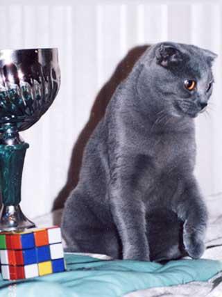 Кот Шотландская вислоухая кошка