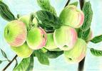 [+] Увеличить - Яблоки (гладкая бумага)