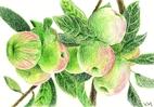 [+] Увеличить - Яблоки (шершавая бумага)