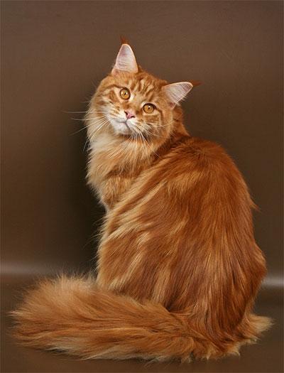 Большие рыжие коты порода