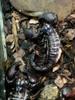 [+] Увеличить - Скорпионы