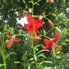 Посмотреть все фотографии серии Мои лилии