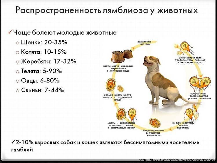 Распространённость лямблиоза у животных (В.Т. Ивашкин, В.О. Кайбышева)