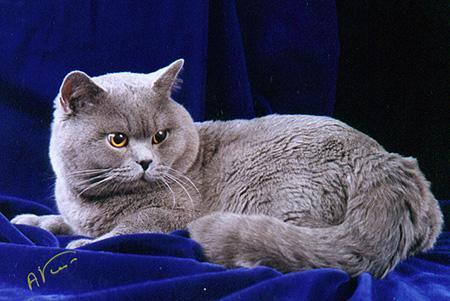 Британские кошки, порода.  9 фото.  Совсем недавно казалось, что все...