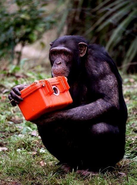 Шимпанзе в Эдинбургском