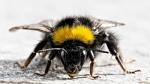 Шмель — летающее насекомое, очень близкий родственник обычной медоносной пчелы.