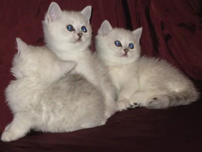 Британские котята, Вислоухие котята и Хайленд-фолд (вислоухие с...