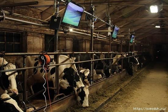 корова картинки