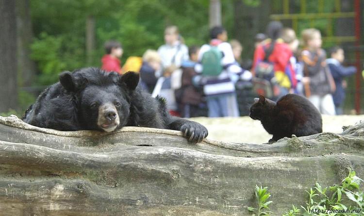 кошка и медведь