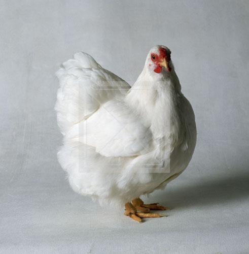 Домашняя курица - самая популярная, распространенная домашняя птица.
