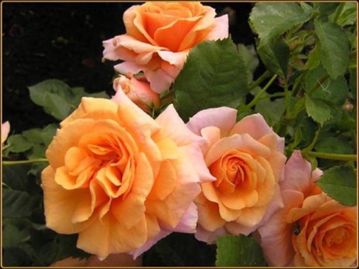 Под посадку роз следует выбирать ровные, хорошо освещенные места.  В тени растения тянутся к свету и плохо цветут.