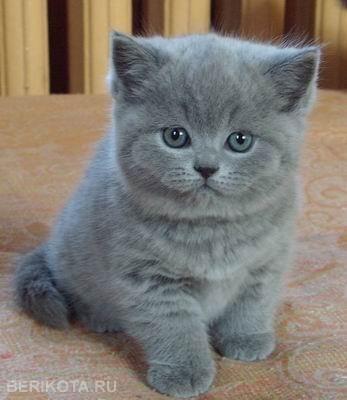 Возьму котенка (мальчика) вислоухого шотландца,персидца, или британца серого голубого цвета (красивого можно не
