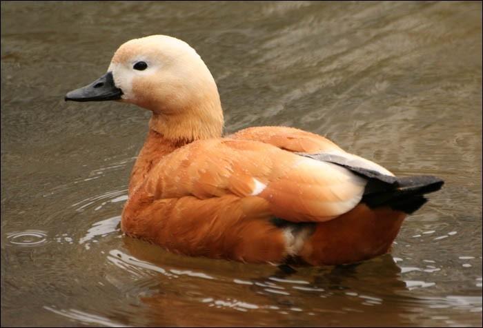 Оранжевая водоплавающая птица.