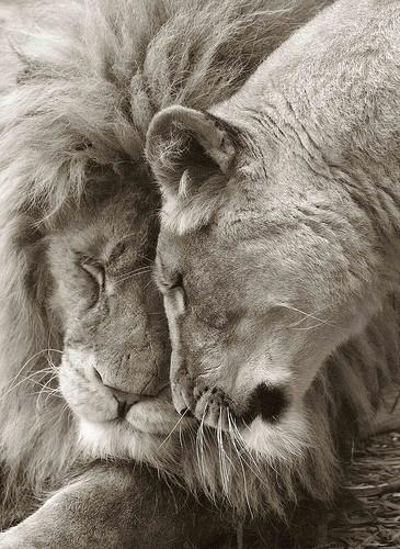картинки со львами про любовь