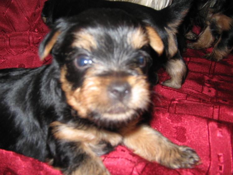 Отдам даром щенка йоркширского терьера. йоркширский терьер в дар омск.