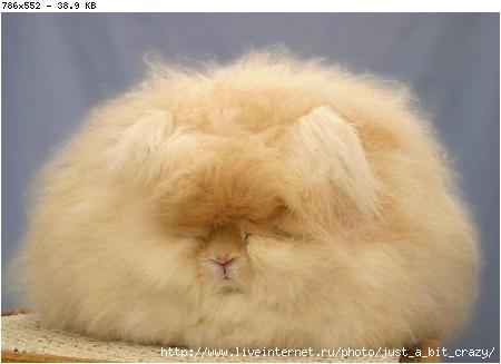 Ангорские кролики (40 фото+текст)