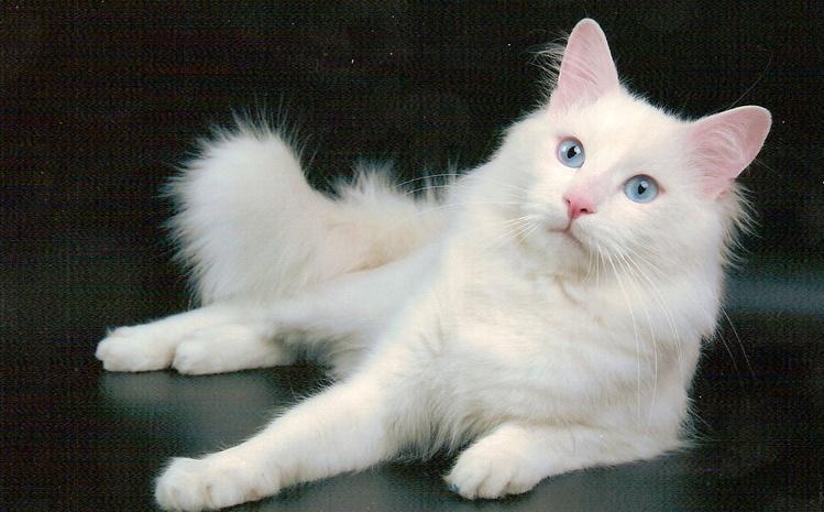 Верба, светло-серая, почти белая кошка с голубыми глазами Надо поменять...