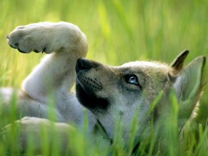 Тут один волчонок побежал за птицей(не летающей)/рыбой по речке/мышью или.