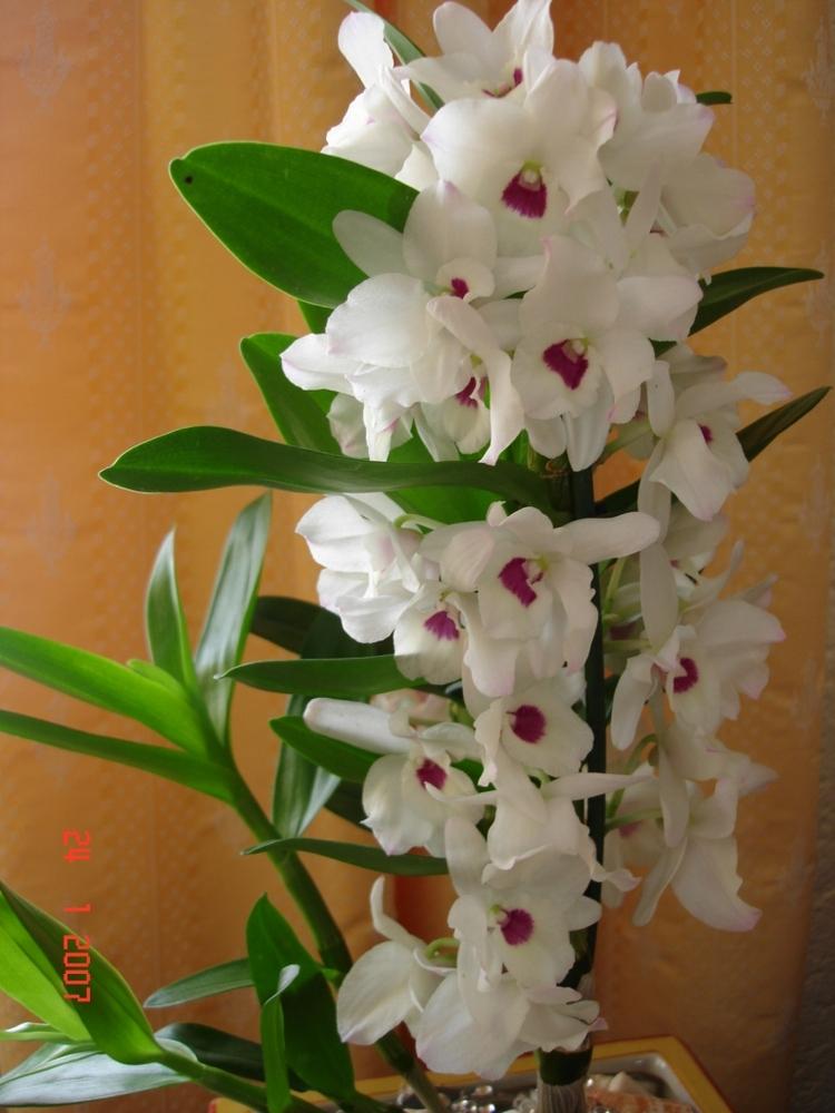 Цветы орхидея разновидности с