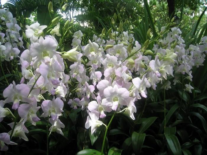 Экзоты Сингапура 48516
