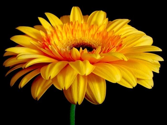 Гербера - это род многолетних травянистых растений, которые относятся к семейству Астровых, другое название...