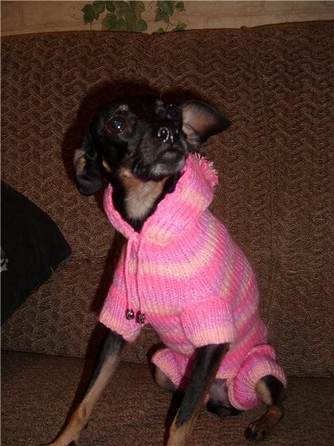 Одежда для маленьких собак своими руками.  Вязаный свитер.