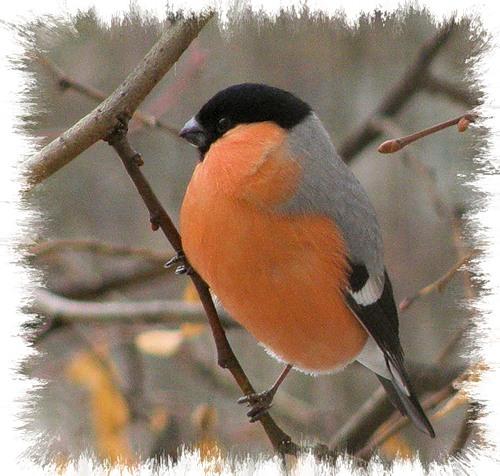 птицы которыер прилетают зимой в россию.