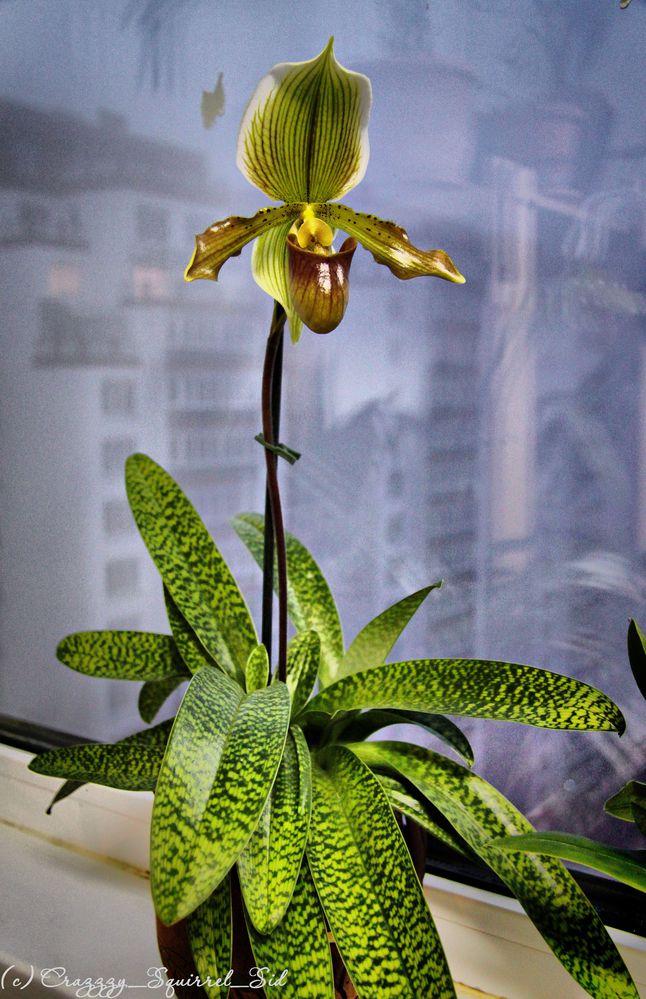+ Увеличить - Орхидея Пафиопедилюм Зацвела 2.