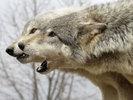 Посмотреть все фотографии серии Волки