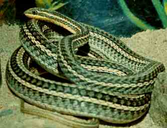 Описание ядовитые змеи убивают в