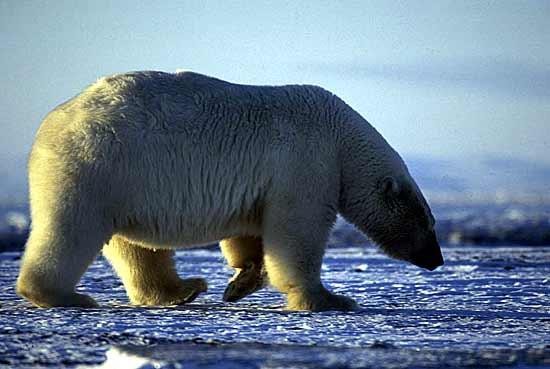 Радиомаяки для слежения за перемещениями белых медведей могут...