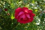 [+] Увеличить - роза плетистая