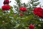 [+] Увеличить - розы плетистые
